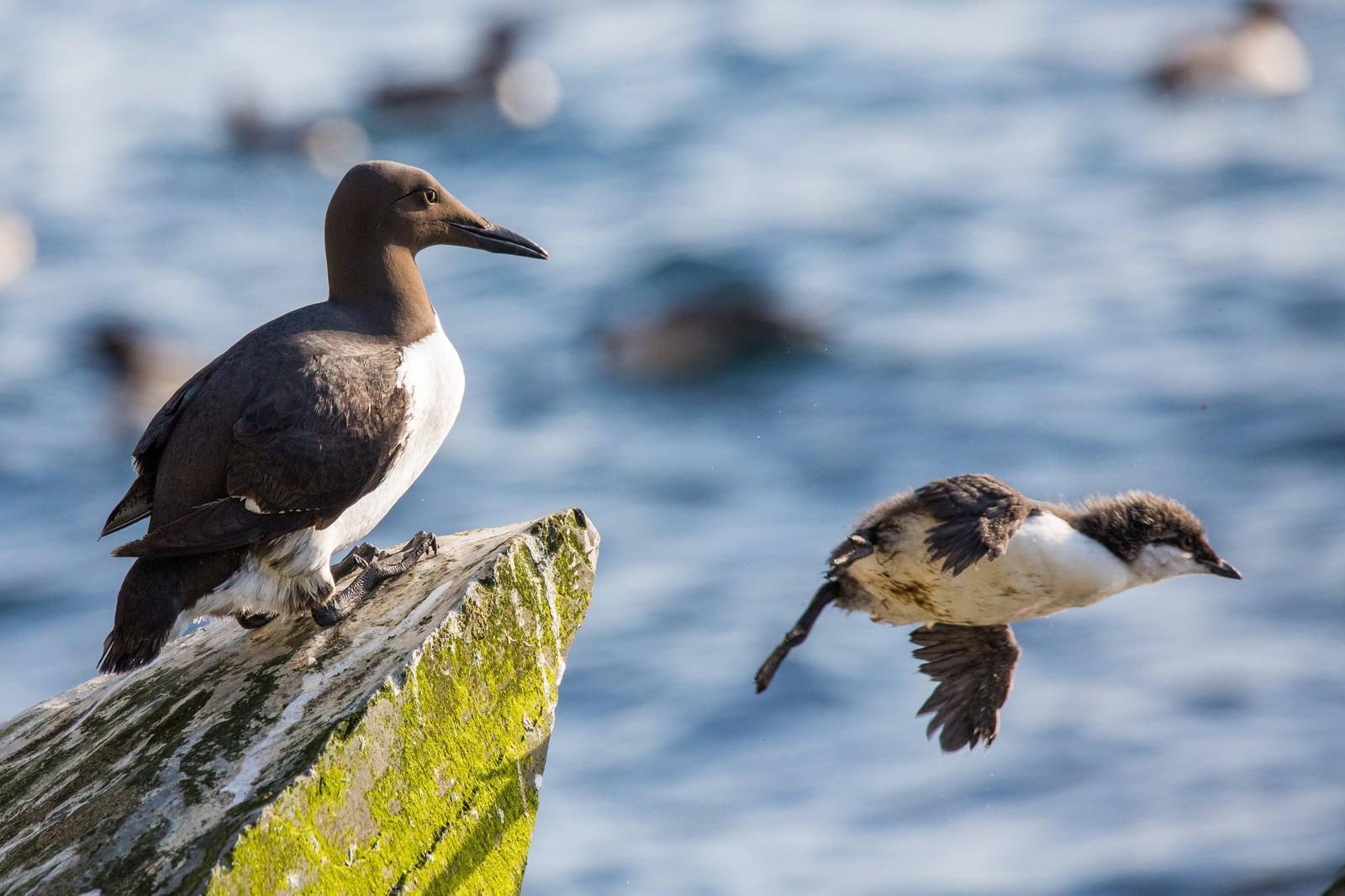 Lomviungene hopper når de er tre uker gamle. Det er far som tar over og følger dem på ferden sørøstover i Barentshavet.