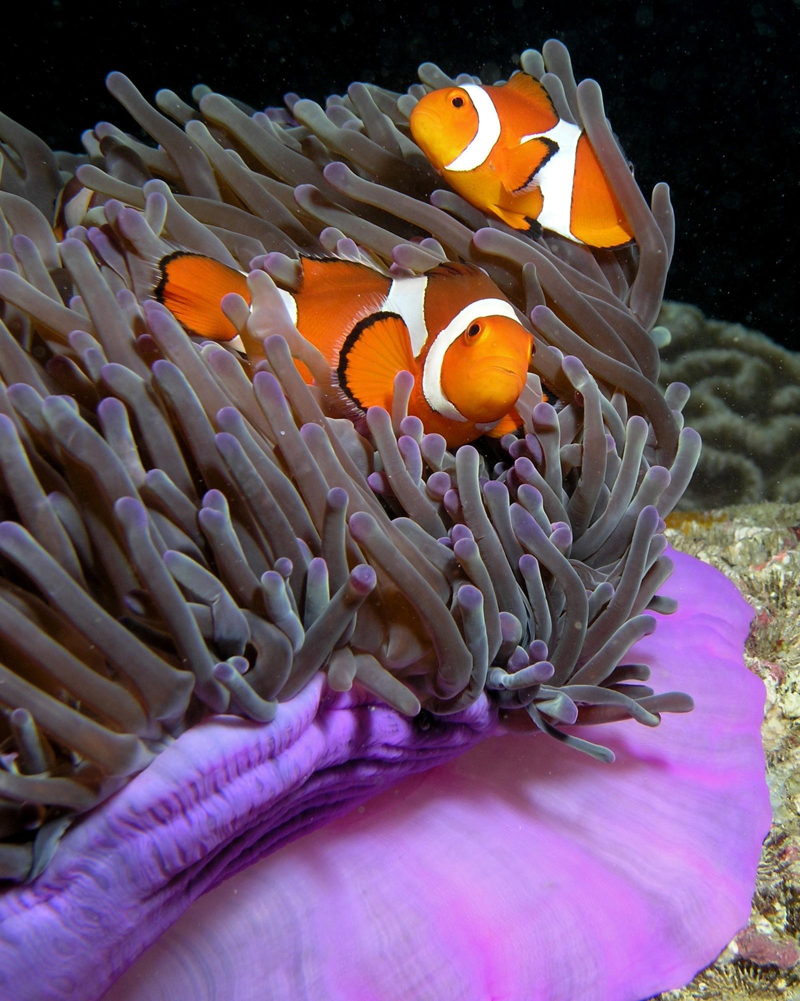 Klovnefisken er en av artene som lever ved Great Barrier Reef. Her på en anemone som ikke er bleket.