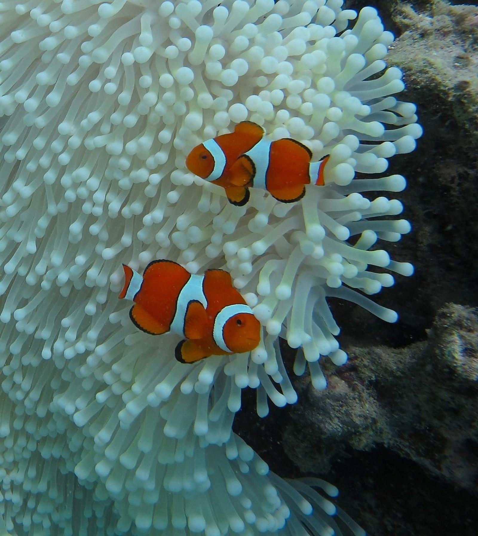 Klovenfisken ved Great Barrier Reef på en anemone som er bleket, etter at vannet i området har hatt en høyere temperatur enn det bruker.