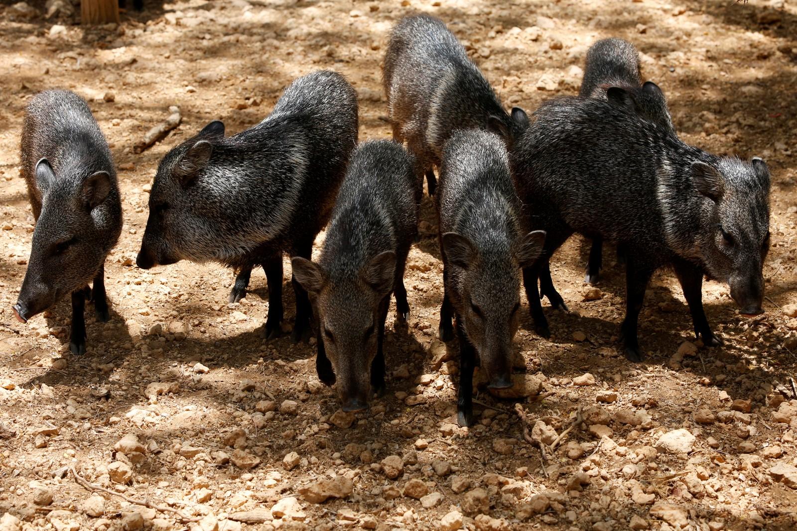 Flere dyrearter dør ut i dyrehagene i Venezuela. Nå vil presidenten gi militæret ansvaret for å dele ut rasjoner med mat til mennesker og dyr.