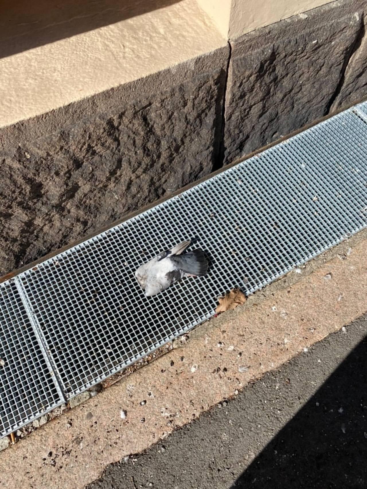 Hodeløs due i Schwensens gate