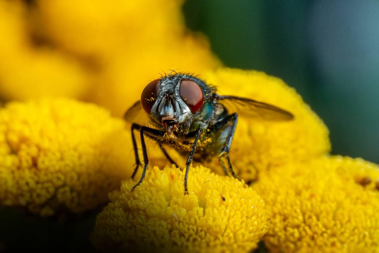 Nærbilde av en spyflue på en blomst. Den har røde fasettøyne og grønn kropp. Du ser den løfter seg litt opp og værer noe.