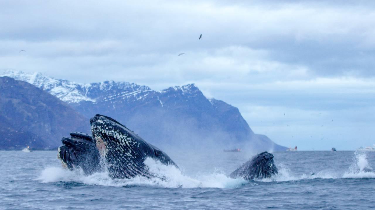 Knølhval bryter overflaten i det de har slurpet i seg en sildestim
