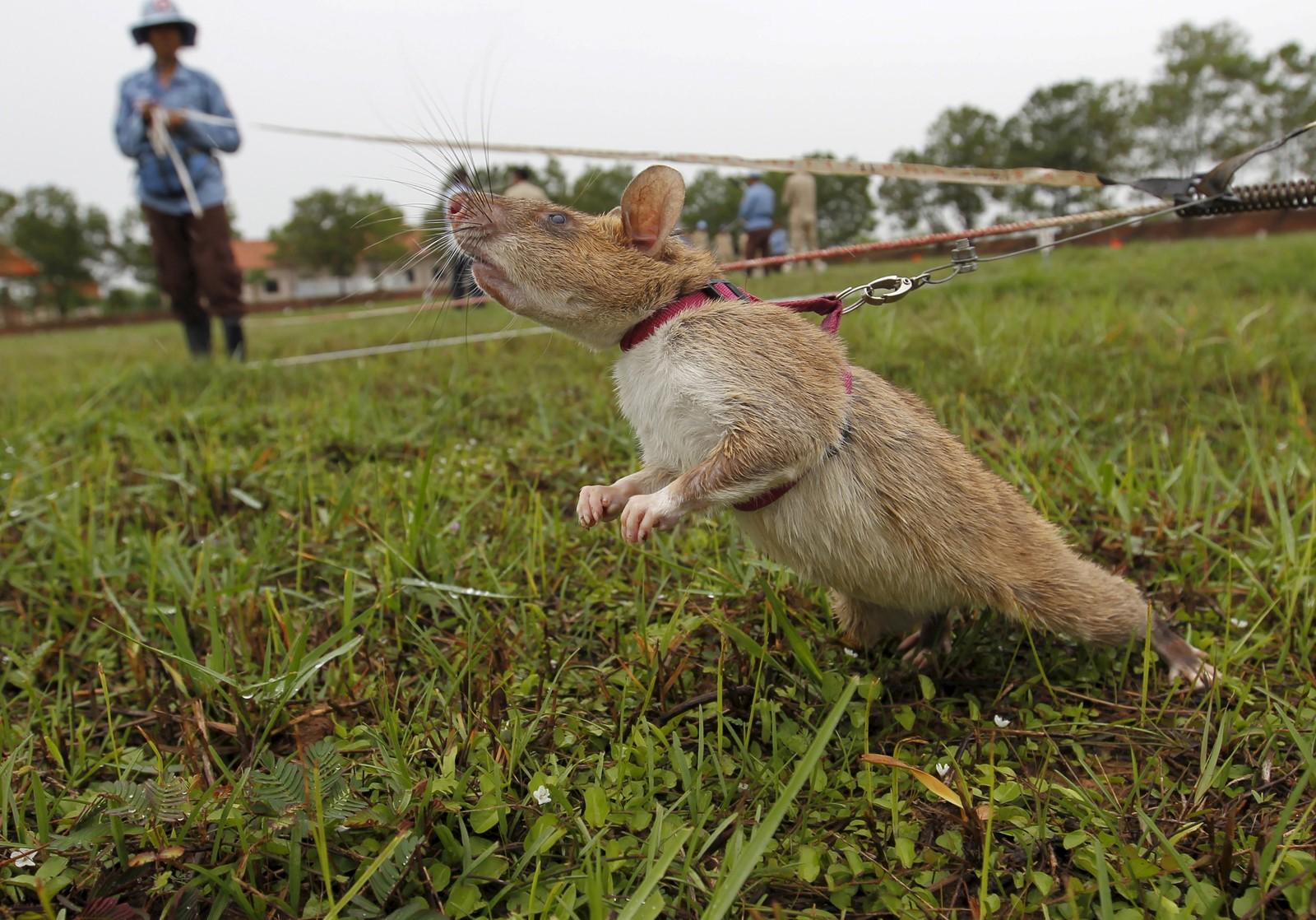 En rotte lærer å finne miner i Kambodsja. Landet sliter fremdeles med landminer etter tiår med borgerkrig.