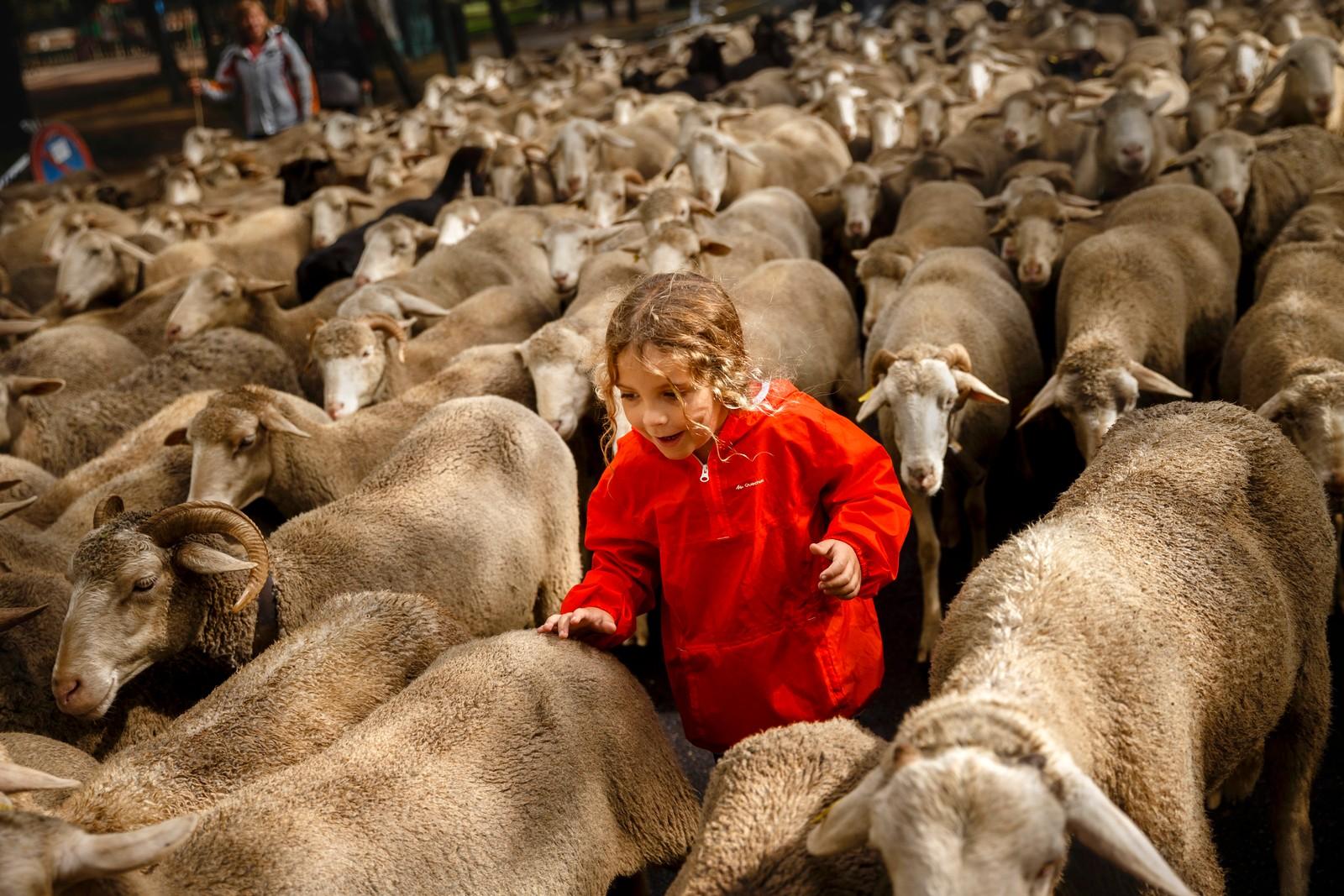 Den 10 år gamle gutten Max løper sammen med sauene gjennom Madrids gater under festivalen Fiesta de la Transhumancia. Det er en gammel tradisjon å føre sauer gjennom byens gater fra høylandet til lavlandet for å unngå overbeite. Avtalen mellom byen og sauebøndene ble inngått i 1418.