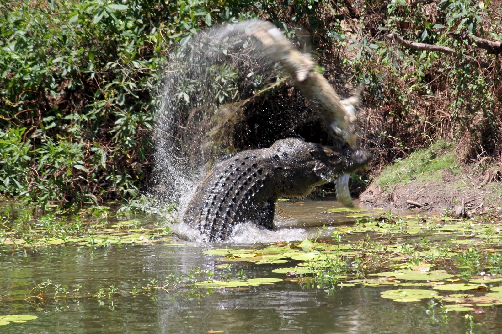 """En krokodille slenger en """"kollega"""" i lufta før den blir spist ved Catfish Waterhole i Rinyirru nasjonalpark i Australia."""