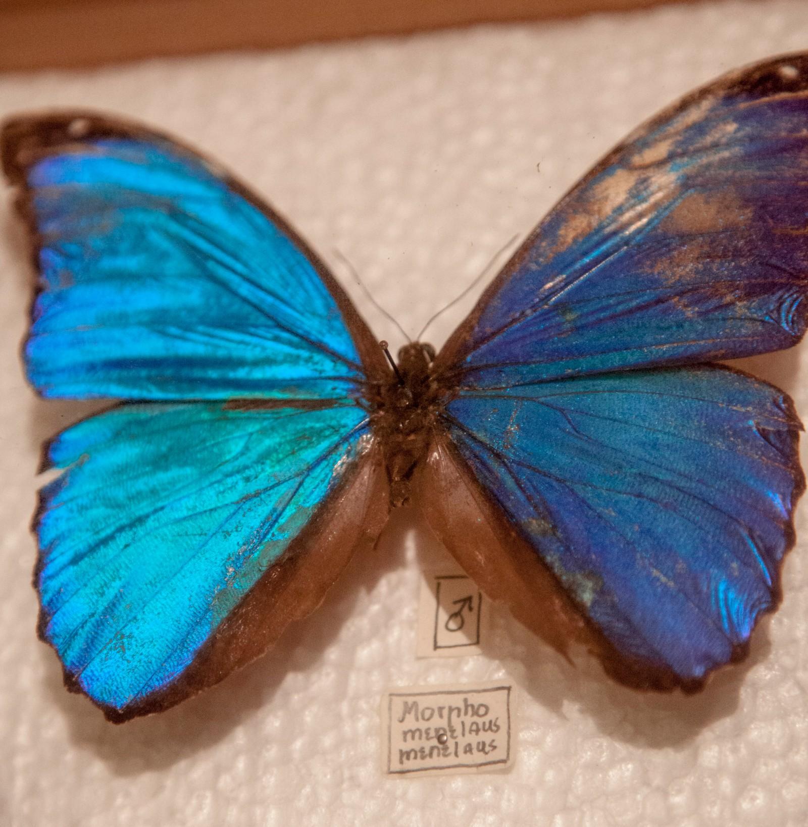 Den blå morpho-sommerfuglen fra regnskogen i Amazonas, har han fanget og stilt ut i glassmonter. Når Nygårdshaug er på skolebesøk har han med seg noen kasser med sommerfugler, for å fortelle elevene om regnskogen og truede arter.