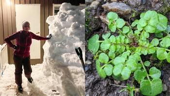 Bildekollasje av kvinne ved siden av snøhaug og rosettkarse.