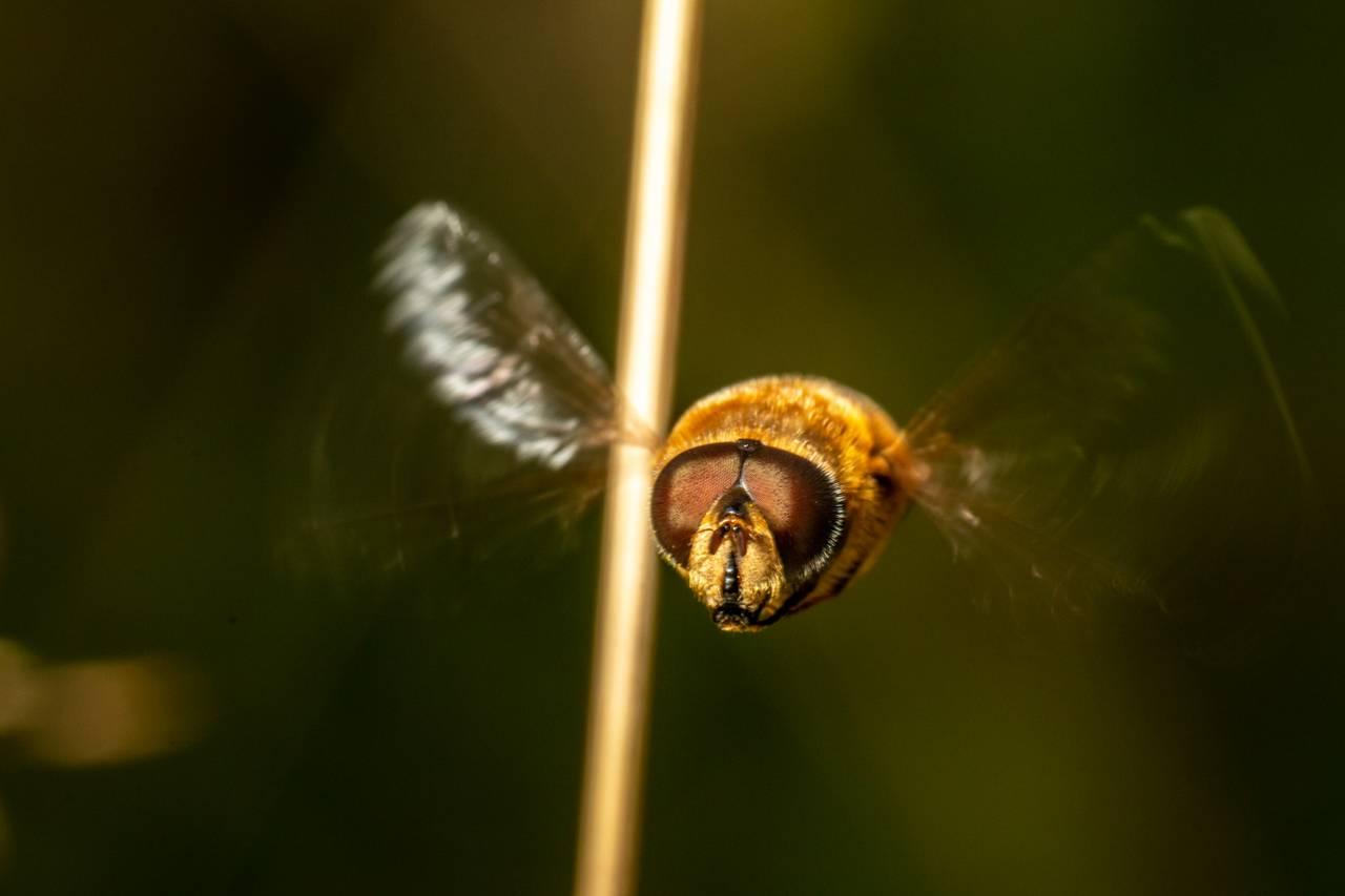 Dronefluen ser ut som en pølse med vinger, hår, striper, og store fasettøyne. Den står helt stille i lufta, som et helikopter, når den flyr.