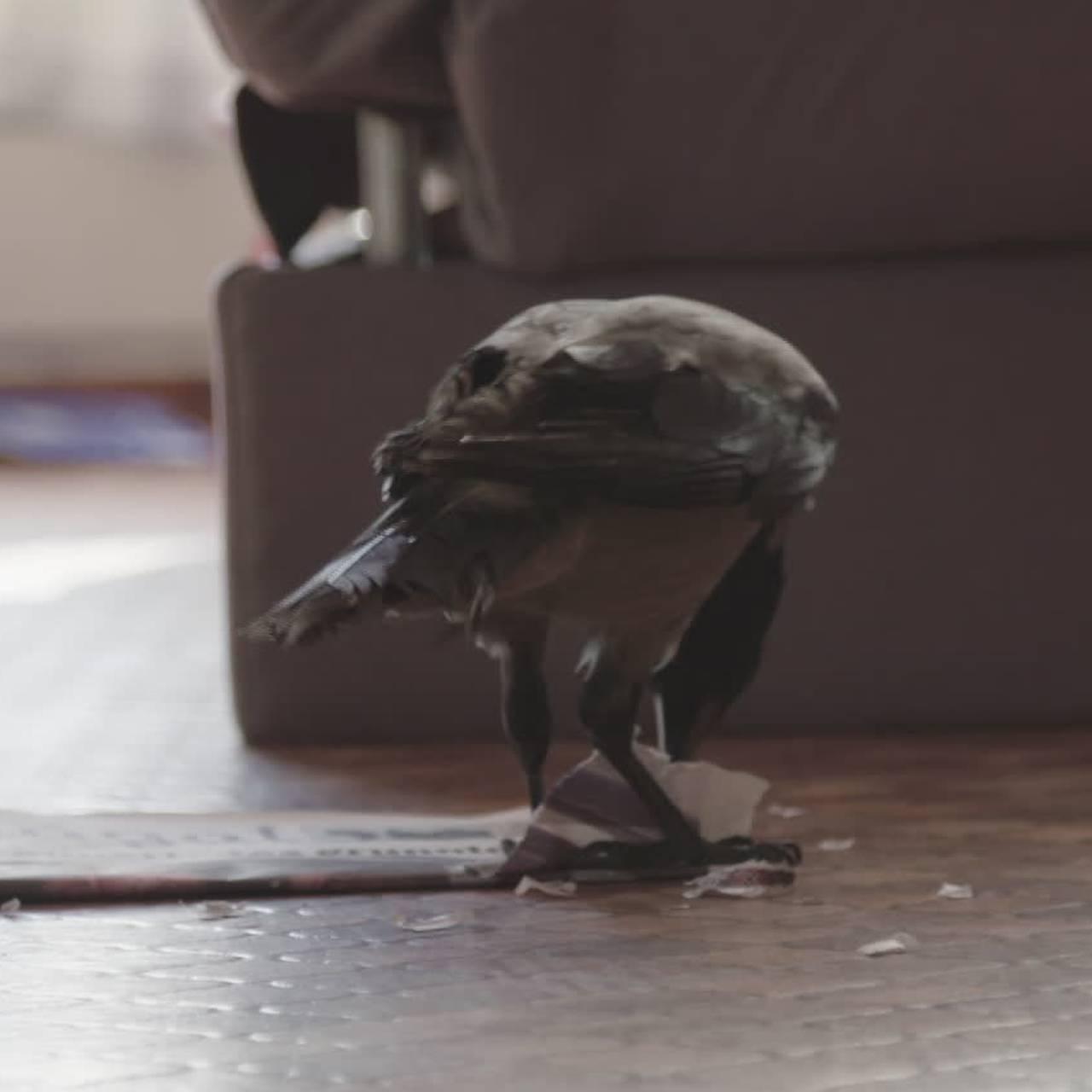 Kråka Himpompæle angriper Ságat