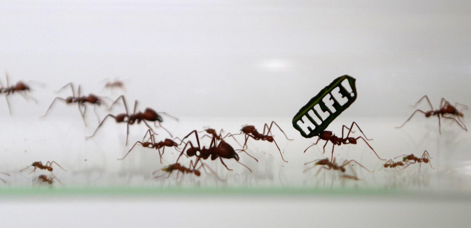 """""""Hjelp!"""" står det på disse maurenes parole. """"Demonstrasjonen"""" fant sted i en dyrehage i Køln, Tyskland, og er ment å sette fokus på kutting av regnskogen i Amazonas."""