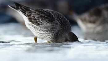 Om vinteren spiser fjæreplytten mest små snegler, krepsdyr og alger.