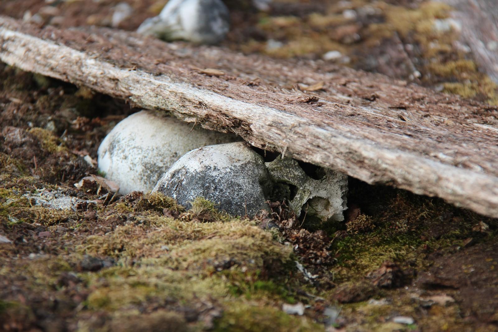 En hodeskalle og kisteplank kommer til syne ved Reinsdyrflya på Svalbard.