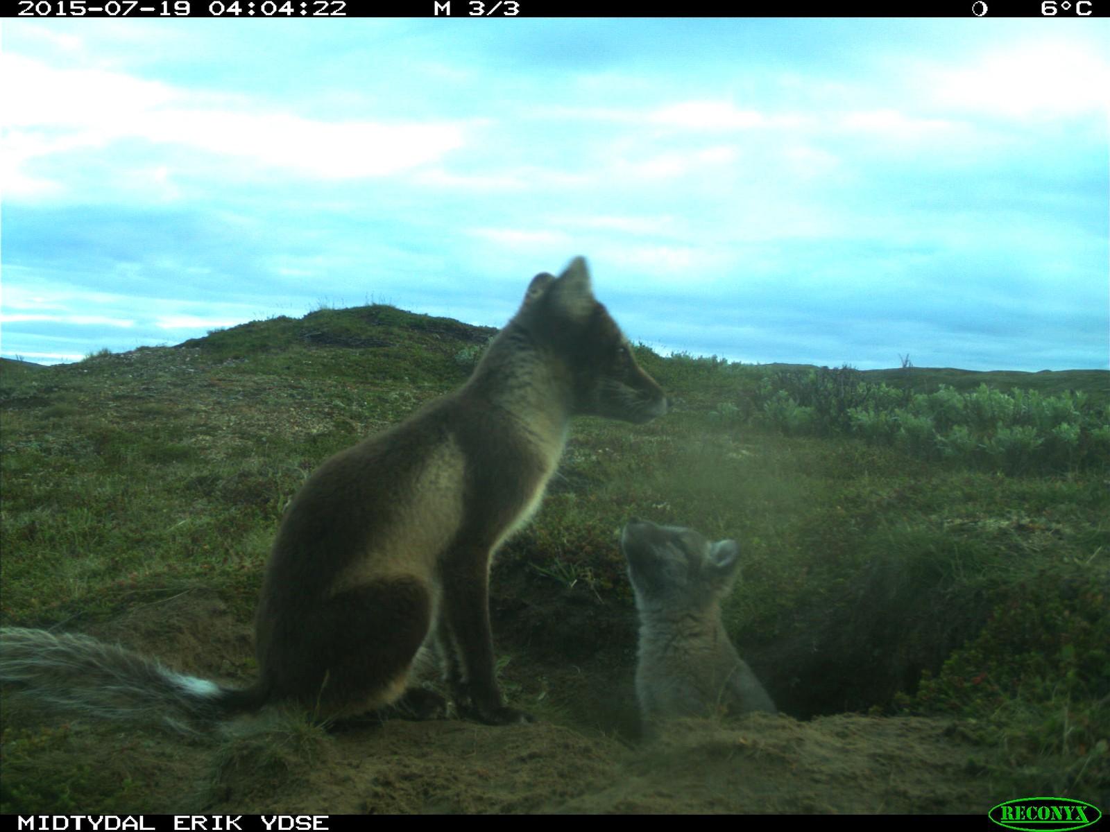 I sommer ble det først minst sju fjellrevvalper i Forollhogna.
