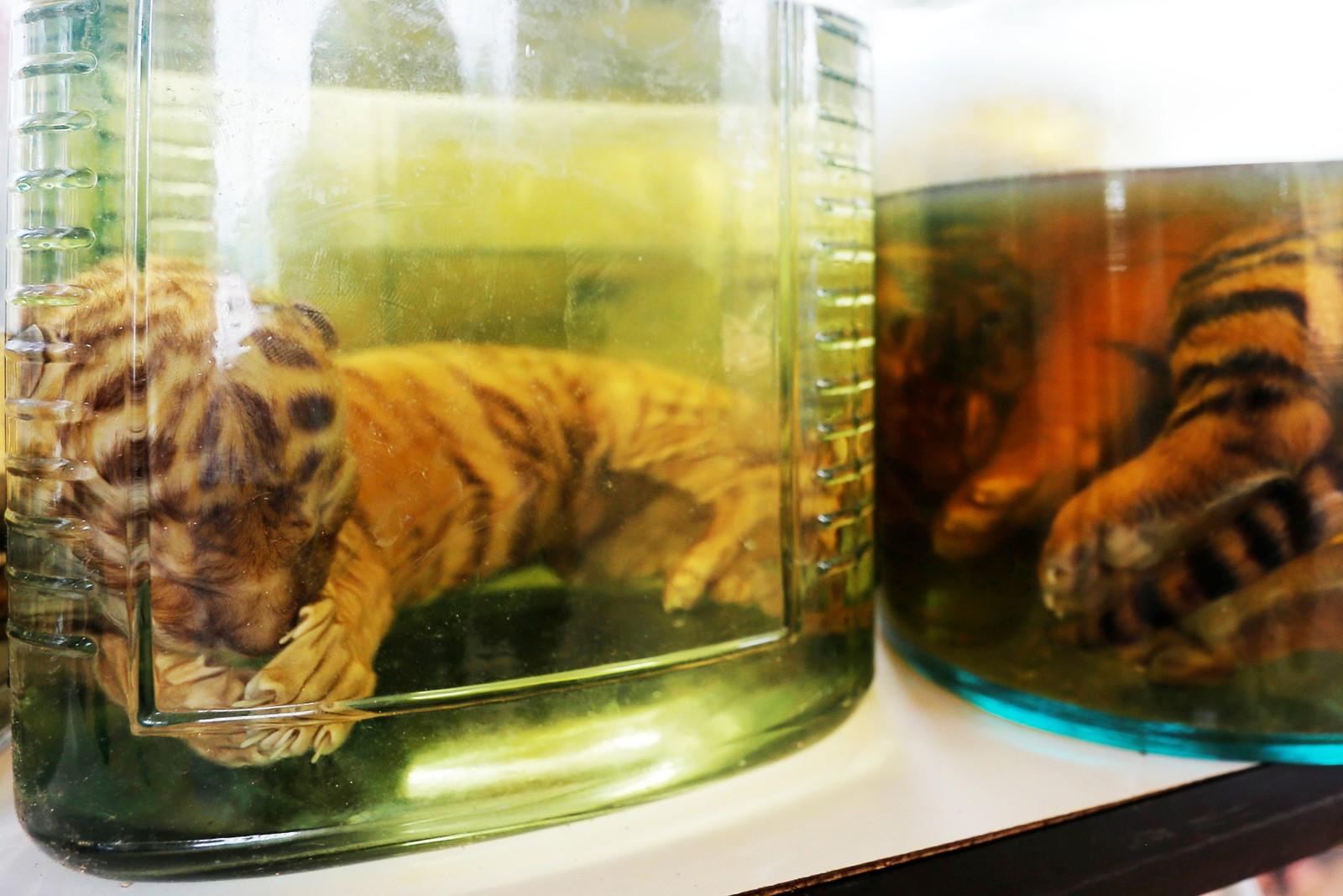 Tjenestemennene som rydder i det kontroversielle tigertemplet i Kanchanaburi-provinsen i Thailand fant tigerungeskrotter i krukker fylt med væske, 3. juni, 2016.
