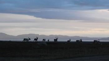 Reinsdyr i Varanger