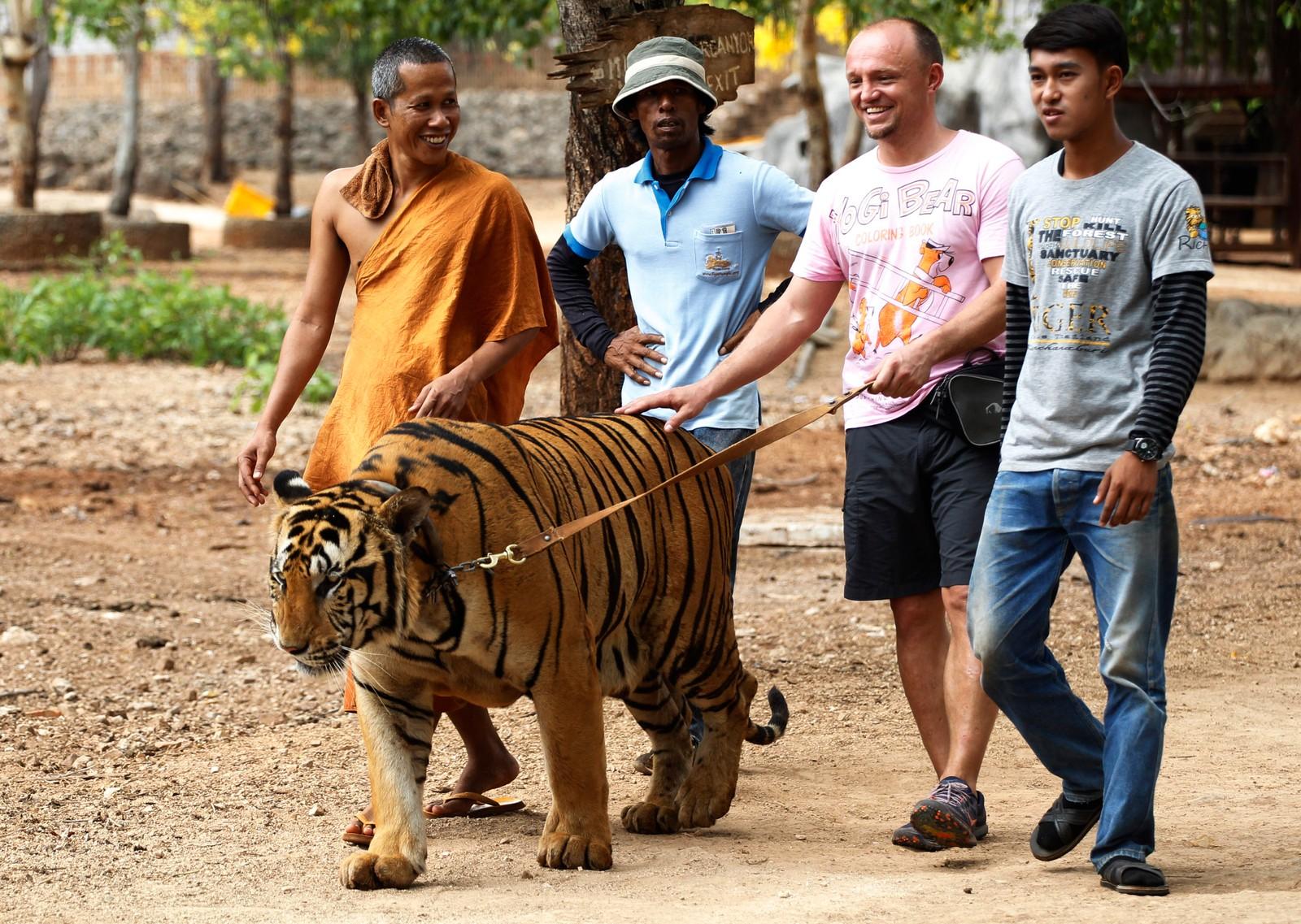 En turist får holde en tiger i bånd i tigertempelet i Kanchanaburi-provinsen, 14. april, 2015.