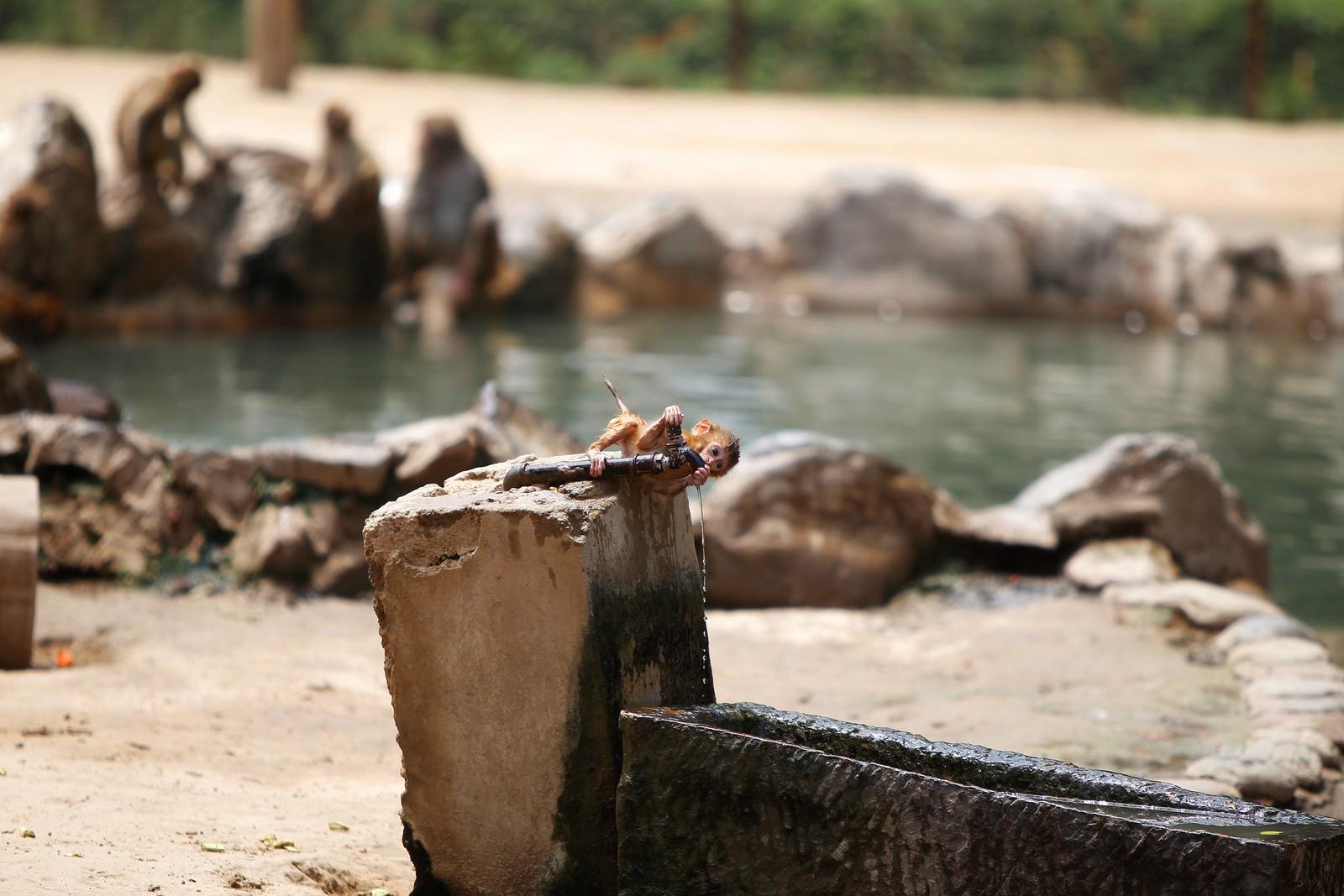 En bitteliten makake-ape slukker tørsten under en varm dag i en dyrehage i Zengshou i Kina.