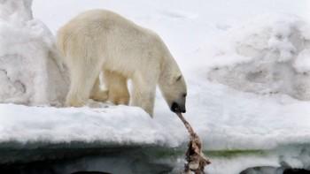 En isbjørn på Svalbard.