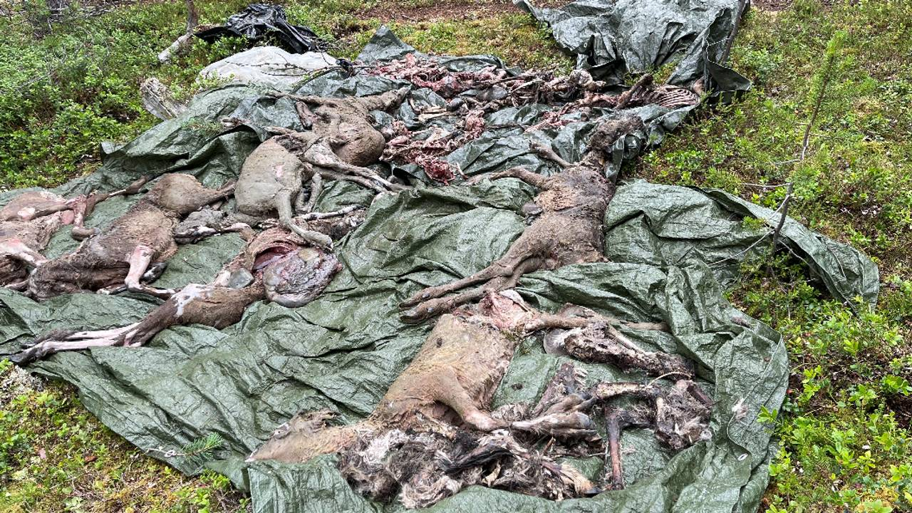 Reinkadavre funnet i Ábborašša reinbeitedistrikt