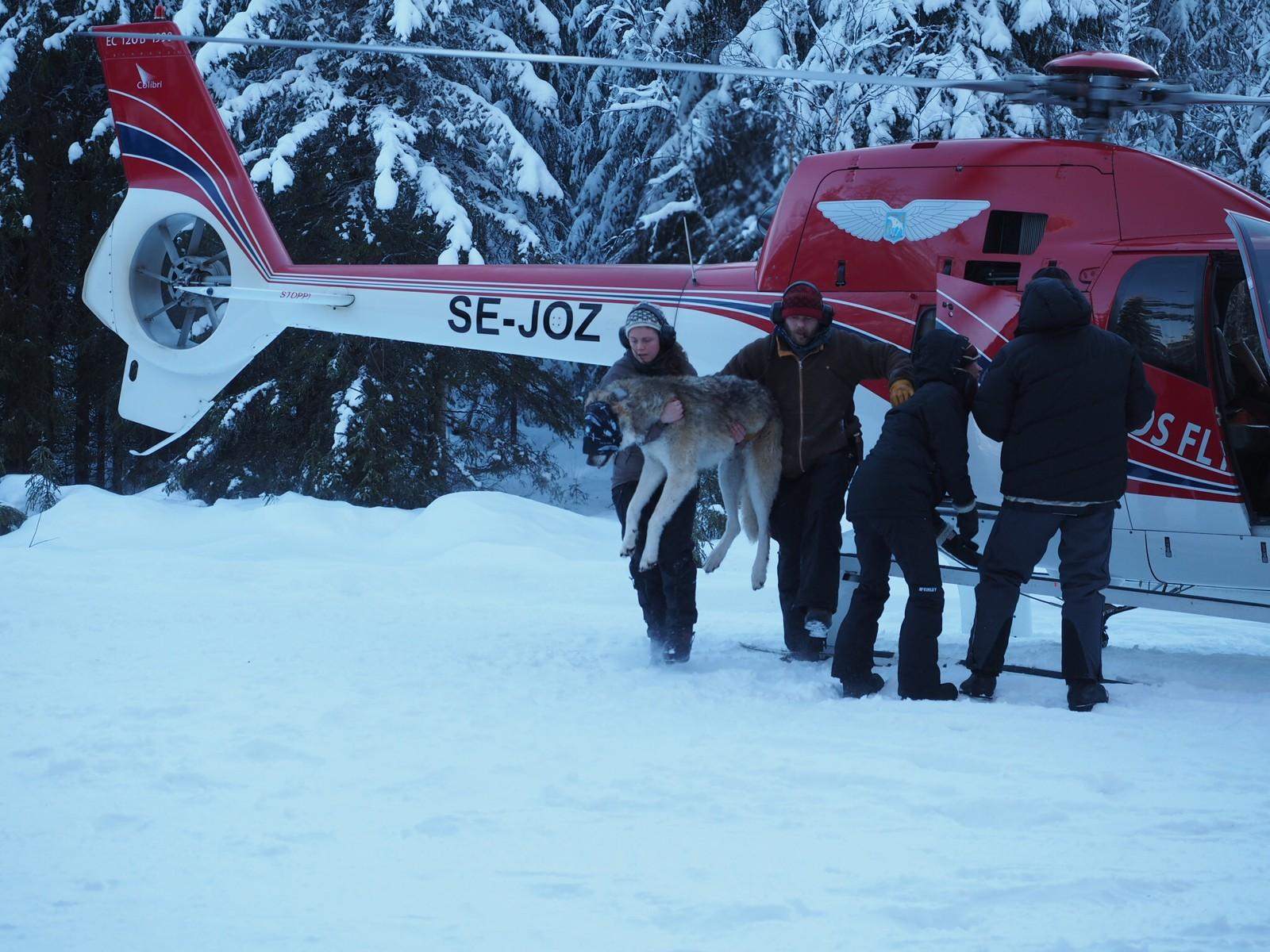 Ulven blir skutt med en bedøvelsespil fra helikopter.
