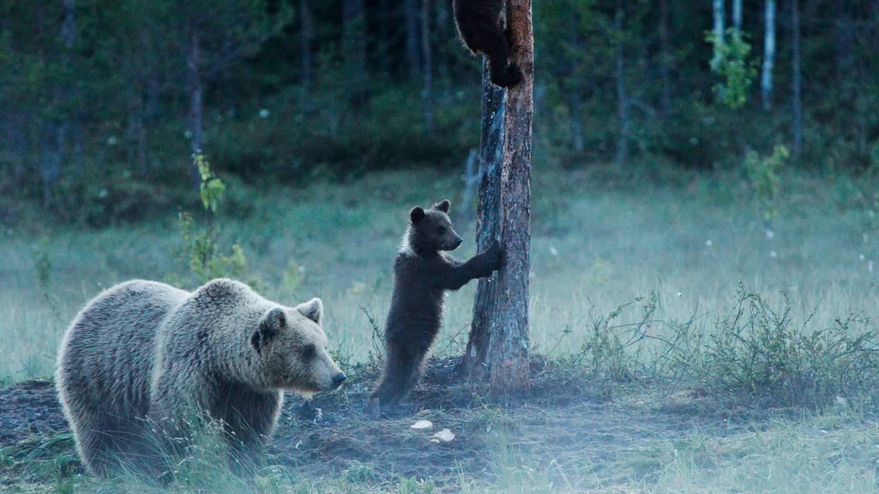 En bjørnebinne med unger ved et vann om kvelden