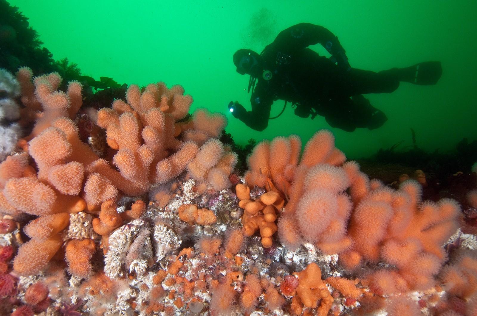 """Saltstraumen er teppelagt av anemoner og koraller, og tross det kalde vannet er fargene """"tropiske""""- dette er kaldtvannskorallen """"Dødmannshånd""""."""