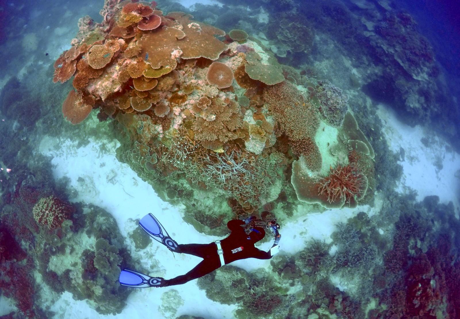 En av de ansatte i Queensland park og dyrelivstjenesten undersøker korallene utenfor øya Lady Elliot på Australias østkyst, som utgjør en del av Great Barrier Reef.