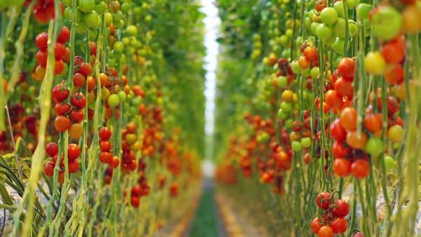 «Dødsangt» gjer tomatplantane meir effektive